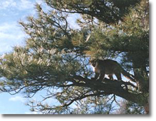 Treed Cougar